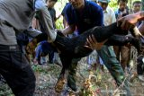 Tim Balai Konservasi Sumber Daya Alam (BKSDA) Aceh bersama lembaga Orangutan Information Center (OIC), masyarakat dan aparat kepolisian mengevakuasi beruang madu (Helarctos malayanus) yang terkena jerat babi di desa Ladang Neubok Kecamatan Jeumpa, Aceh Barat Daya, Rabu (12/6/2019). Beruang madu betina berumur 15 tahun mengalami luka di kuku kaki akibat tali jeratan dan beruang jantan berumur 3 tahun mengalami luka serius di bagian kaki sehingga harus mendapatkan perawatan medis. (Antara Aceh/Khalis)
