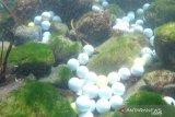 Sejumlah bola golf yang terlempar keluar lapangan menumpuk di dasar Samudra Pasifik di Stillwater Cove dekat Pebble Beach Golf Links di Pebble Beach, California, Amerika Serikat dalam foto handout yang tidak bertanggal ini. ANTARA FOTO/Handout via REUTERS