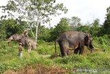 11 gajah liar dekati permukiman warga Riau