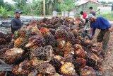 Harga CPO Riau turun Rp30,55/Kg