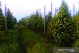 Babel uji coba produksi minyak atsiri bahan daun lada