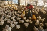 Pemkab : peternak ayam Bantul tidak rugi meski harga per ekor anjlok