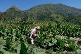 Menurun, luas tanaman tembakau di  Temanggung jadi 2.000 hektare