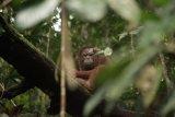 Tiga ekor orangutan dilepasliarkan di TN Bukit Baka-Bukit Raya