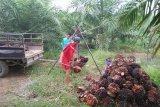 Harga sawit di Kabupaten Mukomuko naik lagi