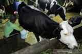 Produksi susu sapi Enrekang