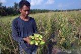 Petani waspadai hama ulat grayak pada jagung