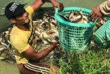 KEM Batu Bersurat panen ikan patin tiga ton