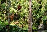 Seorang ranger berdiri tak jauh dari tiga Orangutan (pongo pygmaeus) yang sedang bergelantungan di pohon di Semenggoh Wildlife Centre di Kuching, Sarawak, Selasa (16/7/2019). Semenggoh Wildlife Centre yang menjadi pusat rehabilitasi dan perlindungan Orangutan sejak 1975 tersebut menjadi salah satu destinasi wisata Sarawak yang dapat dikunjungi wisatawan domestik dan mancanegara. ANTARA FOTO/Jessica Helena WuysangANTARA FOTO/JESSICA HELENA WUYSANG (ANTARA FOTO/JESSICA HELENA WUYSANG)