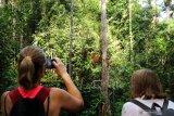 Dua wisatawan mancanegara memantau pergerakan Orangutan (pongo pygmaeus) yang sedang bergelantungan di pohon di Semenggoh Wildlife Centre di Kuching, Sarawak, Selasa (16/7/2019). Semenggoh Wildlife Centre yang menjadi pusat rehabilitasi dan perlindungan Orangutan sejak 1975 tersebut menjadi salah satu destinasi wisata Sarawak yang dapat dikunjungi wisatawan domestik dan mancanegara. ANTARA FOTO/Jessica Helena WuysangANTARA FOTO/JESSICA HELENA WUYSANG (ANTARA FOTO/JESSICA HELENA WUYSANG)
