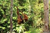 Tiga Orangutan (pongo pygmaeus) bergelantungan di pohon di Semenggoh Wildlife Centre di Kuching, Sarawak, Selasa (16/7/2019). Semenggoh Wildlife Centre yang menjadi pusat rehabilitasi dan perlindungan Orangutan sejak 1975 tersebut menjadi salah satu destinasi wisata Sarawak yang dapat dikunjungi wisatawan domestik dan mancanegara. ANTARA FOTO/Jessica Helena WuysangANTARA FOTO/JESSICA HELENA WUYSANG (ANTARA FOTO/JESSICA HELENA WUYSANG)