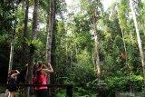 Sejumlah wisatawan mancanegara memotret Orangutan (pongo pygmaeus) yang sedang bergelantungan di pohon di Semenggoh Wildlife Centre di Kuching, Sarawak, Selasa (16/7/2019). Semenggoh Wildlife Centre yang menjadi pusat rehabilitasi dan perlindungan Orangutan sejak 1975 tersebut menjadi salah satu destinasi wisata Sarawak yang dapat dikunjungi wisatawan domestik dan mancanegara. ANTARA FOTO/Jessica Helena WuysangANTARA FOTO/JESSICA HELENA WUYSANG (ANTARA FOTO/JESSICA HELENA WUYSANG)