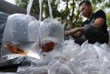 Pembudidaya ikan cupang manfaatkan penjualan secara daring