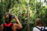 Dua wisatawan mancanegara memantau pergerakan Orangutan (pongo pygmaeus) yang sedang bergelantungan di pohon di Semenggoh Wildlife Centre di Kuching, Sarawak, Selasa (16/7/2019). Semenggoh Wildlife Centre yang menjadi pusat rehabilitasi dan perlindungan Orangutan sejak 1975 tersebut menjadi salah satu destinasi wisata Sarawak yang dapat dikunjungi wisatawan domestik dan mancanegara. ANTARA FOTO/Jessica Helena Wuysang/hp