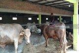Kulon Progo minta panitia urus izin lokasi potong hewan kurban