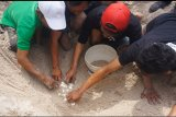Warga pesisir Tulungagung tangkarkan telur penyu langka terancam predator
