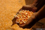 Gorontalo ekspor 12.000 ton jagung ke Filipina
