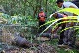Enam landak jawa penghuni baru Taman Alam Danau Buyan