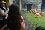 Wisatawan menyaksikan Harimau Sumatera (Panthera Tigris Sumatrae) bernama Pandeka mencari daging dalam boneka rusa saat dilatih kemampuan berburunya di Bali Zoo, Gianyar, Bali, Senin (29/7/2019). Kegiatan tersebut untuk mempertahankan perilaku asli satwa langka tersebut sekaligus untuk menyajikan atraksi wisata bertepatan dengan Hari Harimau Sedunia (International Tiger Day). Antaranews Bali/Nyoman Budhiana.