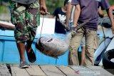 Buruh pelabuhan mengangkat ikan tuna sirip kuning hasil tangkapan nelayan tradisional di pelabuhan Ulee Lheue, Kecamatan Meuraxa, Banda Aceh, Aceh, Rabu (31/7/2019). Nelayan tradisonal yang melaut menangkap ikan tuna hingga sepuluh hari menyatakan hasil tangkapan ikan tuna rata-rata empat ekor sedangkan sebelumnya mencapai 40 ekor bahkan lebih akibat pengaruh musim dan selain faktor cuaca buruk. (Antara Aceh/Ampelsa)