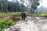 BKSDA halau dua gajah ke  habitatnya