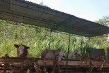 Jelang Idul Adha, peminat penyewaan kandang ternak di Batang meningkat
