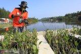 Kawasan wisata konservasi Penyu ditanami 5.000 batang bibit mangrove