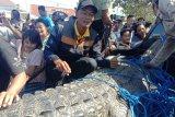 Buaya ditemukan mati terjebak jaring apung di Segara Anakan Cilacap