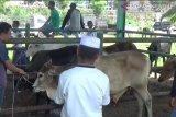 Daya beli masyarakat rendah, transaksi hewan kurban di Pasaman Barat turun