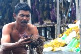 Pembudidaya rumput laut di Nunukan rugi