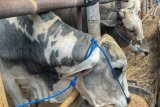 Sebanyak 110 sapi kurban di Yogyakarta terinfeksi cacing hati