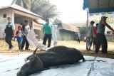 Saat Idul Adha, Wilmar Dumai salurkan empat sapi ke masyarakat