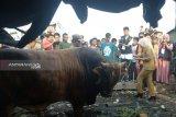 Sapi kurban Wakil Wali Kota Palembang mengamuk saat akan disembelih