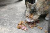 Kucing hanya diberi makanan kering, bolehkah?