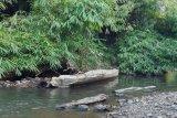 Penyelamatan Bajakah di Kalimantan