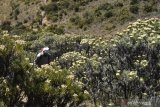 Pendaki melintas di antara hamparan tanaman Edelweis (Anaphalis javanica) yang bunganya mulai bermekaran di kawasan Gunung Lawu, Jawa Timur, Sabtu (17/8/2019). Pengelola kawasan Gunung Lawu memberlakukan larangan keras memetik bunga Edelweis bagi masyarakat termasuk pendaki gunung yang berada di perbatasan wilayah Jawa Timur dan Jawa Tengah tersebut. Antara Jatim/SiswowidodoANTARA FOTO/SISWOWIDODO (ANTARA FOTO/SISWOWIDODO)