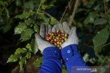 Petani memanen kopi arabika di kaki Gunung Manglayang, Kabupaten Bandung, Jawa Barat, Senin (19/8/2019). Kementerian Pertanian menargetkan peningkatan produksi biji kopi tahun ini sebesar 2,1 hingga 3 ton per hektare dibandingkan dengan saat ini yang baru mencapai 0,6-0,7 ton per hektare atau sekitar 775 kilogram per hektare. ANTARA FOTO/Raisan Al Farisi/agr