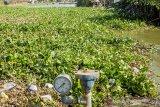 Kondisi irigasi yang dipenuhi tanaman eceng gondok di Rengasdengklok Selatan, Karawang, Jawa Barat, Selasa (20/8/2019). Irigasi untuk lahan persawahan di kawasan tersebut menjadi terhambat akibat tertutupnya permukaan air oleh tanaman eceng gondok yang tidak terurus. ANTARA FOTO/M Ibnu Chazar/agr