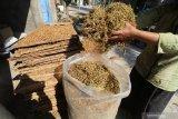 Petani mengemas tembakau kering ke dalam plastik di Desa Semen, Kediri, Jawa Timur, Rabu (21/8/2019). Petani di daerah penghasil rokok tersebut mengaku diuntungkan dengan harga tembaku kering yang stabil yakni seharga Rp35 ribu per kilogram. Antara Jatim/Prasetia Fauzani/zk.