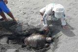 Seekor penyu kembali ditemukan mati terdampar di Pantai Karangwuni