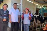 Pemprov Sulut mengembangkan sapi perah hingga kabupaten/kota