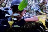 Ini beragam tumbuhan endemik yang masih ditemukan di Hutan Angkola