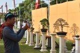 Pengunjung mengamati bonsai yang dipamerkan di depan Pendapa Kabupaten Ponorogo, Jawa Timur, Minggu (25/8/2019). Pameran bonsai dalam rangka perayaan Grebeg Suro dan Peringatan Hari Jadi ke-523 diikuti ratusan kolektor bonsai dari sejumlah daerah di Jawa Timur dan Jawa Tengah tersebut berlangsung hingga 31 Agustus 2019. Antara Jatim/Siswowidodo/zk
