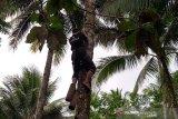 BI Purwokerto salurkan bantuan alat keselamatan bagi penderes nira  kelapa