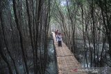 Pengunjung menikmati suasana ekowisata mangrove Karangsong, Indramayu, Jawa Barat, Selasa (27/8/2019). Pertamina RU VI Balongan terus mengembangkan kawasan ekowisata mangrove Karangsong dengan membuat arboretum mangrove, pembuatan olahan mangrove dan kurikulum mangrove untuk Sekolah Dasar di kasawan pesisir Indramayu. ANTARA JABAR/Dedhez Anggara/agr