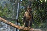 Seekor Elang Jawa (Nisaetus bartelsi) bertengger didahan Kandang Display Edukasi Pusat Konservasi Elang Kamojang (PKEK) Kabupaten Garut, Jawa Barat, Kamis (29/8/2019). Sejak tahun 2015 PKEK telah melepasliarkan 50 ekor elang diseluruh wilayah Indonesia ke habitat asalnya, sedangakan 37 ekor elang dilepaskan dikawasan Kamojang dengan jumlah yang masih mejalani rehabilitas saat ini 122 ekor elang. ANTARA JABAR/Adeng Bustomi/agr