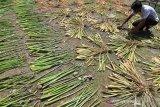 Perajin menjemur tanaman eceng gondok (Eichornia crassipes) yang akan dijadikan kerajinan di Desa Kubu, Kecamatan Arongan Lambalek, Aceh Barat, Aceh, Sabtu (31/8/2019). Berbagai jenis kerajinan dan aksesoris berbahan eceng gondok tersebut dijual Rp10 ribu sampai Rp4,5 juta per buah tergantung ukuran dan mayoritas pemesan berasal dari Pulau Jawa. Antara Aceh/Syifa Yulinnas.