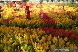 Destinasi wisata baru di Kabupaten Kudus itu bernama taman 10.000 bunga celocia
