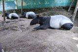 Seekor tapir terjerat di TN Bukit Tigapuluh
