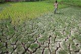 2.169 hektare sawah di  Sumsel alami kekeringan